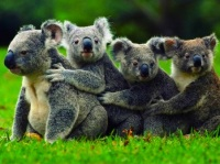 koala-group-hug